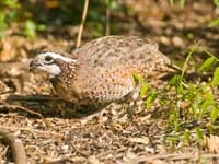 quail in brush